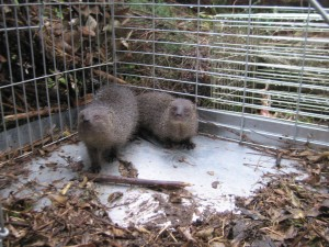 Two mongooses being released